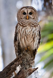 Barred Owl. Sitting on branch stock image