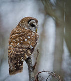Barred Owl. Sitting in tree royalty free stock photography