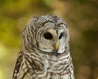 Barred Owl. Taken at a conservation area that cares for injured animals Royalty Free Stock Photography