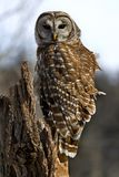 Barred Owl. A Barred Owl stands perched on a stump hunting Royalty Free Stock Photo