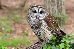 Barred Owl. Sitting on a Log Royalty Free Stock Image
