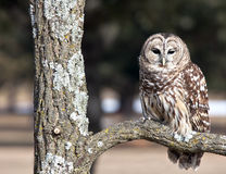 Barred Owl. Close up of a Barred Owl, perching on an oak tree branch stock images