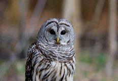 Barred Owl. With blurred background stock image