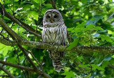Barred Owl. With green background royalty free stock images