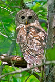 Barred Owl Royalty Free Stock Photos