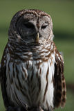 Barred Owl. A portrait of a barred owl Stock Photo