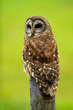 Barred Owl 3. Large barred Owl on fence post royalty free stock image