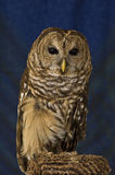 Barred Owl. A portrait of a barred owl with a blue background stock images
