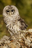 Barred Owl. Sitting on rocky outcropping with green background Royalty Free Stock Image