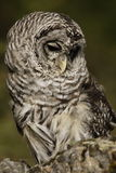 Barred Owl. Vertical format closeup of barred owl looking coyly down to right Stock Image