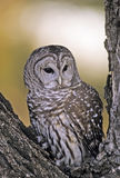 Barred owl. In tree. Photographed in Colorado Stock Photos