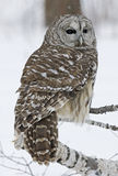 Barred owl. In winter. Photographed in Northern Minnesota stock photos