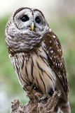 Barred Owl. A close up of a barred owl royalty free stock image