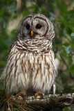 Barred Owl. Closeup of a Barred Owl perching in a tree Royalty Free Stock Photo