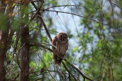 Barred owl. Owl up on the tree Stock Photography