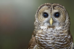 Barred Owl. A close up of a barred owl royalty free stock photography