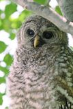 Barred Owl. Cute, feathery Barred Owl resting in a tree Royalty Free Stock Photo