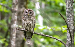 Barred Owl. In Acadia National Park, Maine stock image