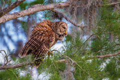 Barred Owl Stock Photos