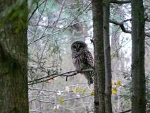 Barred Owl. On pine tree in North Stock Image