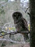 Barred Owl. On pine tree in North Royalty Free Stock Images
