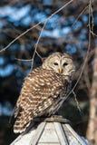 Barred Owl on Bird Feeder Stock Photo