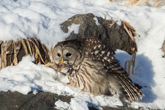 Barred Owl on Bird Feeder Stock Image