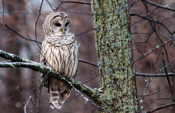 Barred Owl on a branch stock images