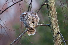Barred Owl on a branch. Royalty Free Stock Photography