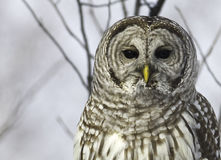 Barred Owl on a branch. Stock Images
