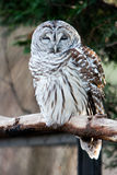 Barred Owl on branch stock images