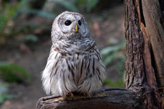 Barred owl on a branch. Canada Royalty Free Stock Photography