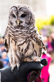 A Barred Owl In Captivity. Barred Owl in captivity sitting on hand Royalty Free Stock Image
