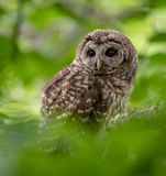 Barred Owl Portrait. A Barred owl in central Florida stock photography