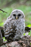 Barred Owl Chick. A barred owl chick, fresh from leaving the nest, 'branches' on a fallen tree Royalty Free Stock Image