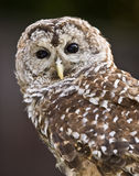 Barred Owl Close up Stock Images