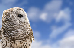 Barred Owl. Close-up of a Barred Owl on a beautiful blue, cloudy sky background.  The Barred Owl is primarily a bird of eastern and northern U.S. forests Stock Image