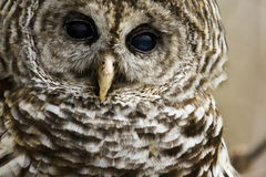 Barred Owl Royalty Free Stock Photography