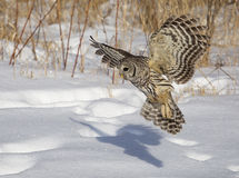 Barred owl. Close up image of a barred owl, in flight, hunting its prey royalty free stock photos