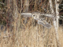 Barred owl. Close up image of a barred owl, in flight, hunting its prey royalty free stock image