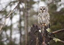 Barred owl. Close up image of a barred owl, in the wild, perched on top of a rotting evergreen tree. Winter in northern Wisconsin royalty free stock images