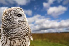 Barred Owl Stock Photography