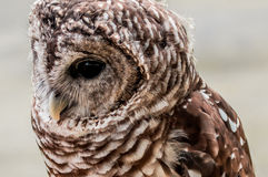 Barred Owl Close-up Royalty Free Stock Photos