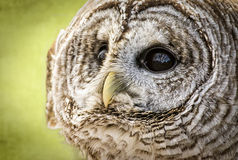 Barred Owl. Close-up of a Barred Owl. The Barred Owl is primarily a bird of eastern and northern U.S. forests royalty free stock photography
