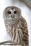 Barred owl close up. Barred owl in a tree in Quebec city, Quebec, Canada royalty free stock photography