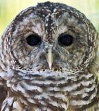 Barred Owl Closeup Royalty Free Stock Photography