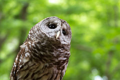 Barred owl. A closeup of a barred owl looking up Stock Images