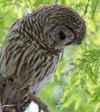 Barred owl closeup Royalty Free Stock Photos