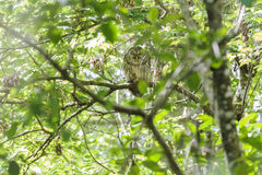 Barred Owl Corkscrew Swamp Royalty Free Stock Images