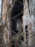 Barred owl in a dead tree Royalty Free Stock Photo